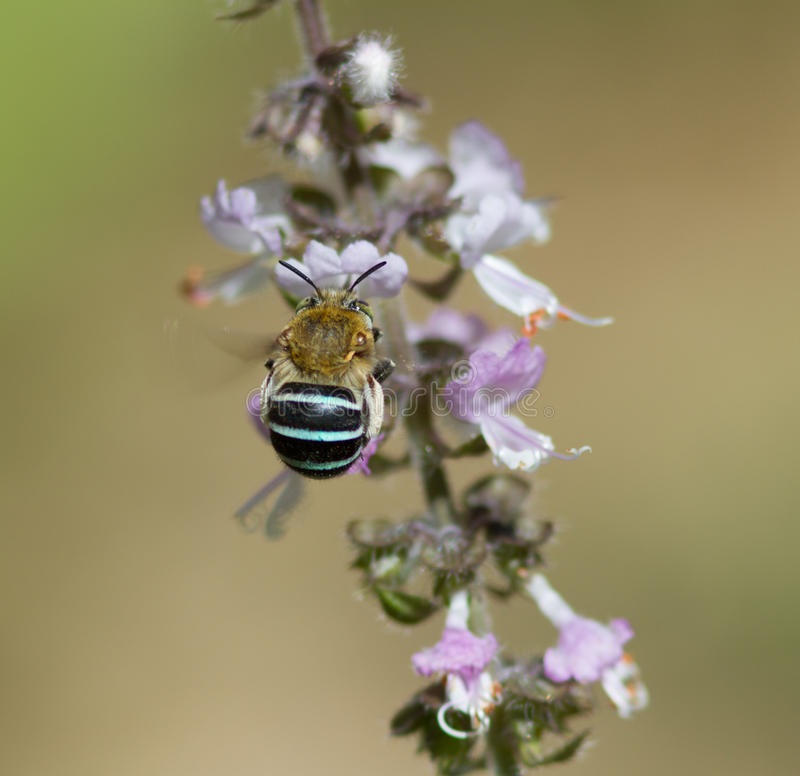 Blue Banded Bee on Basil royalty free stock photos