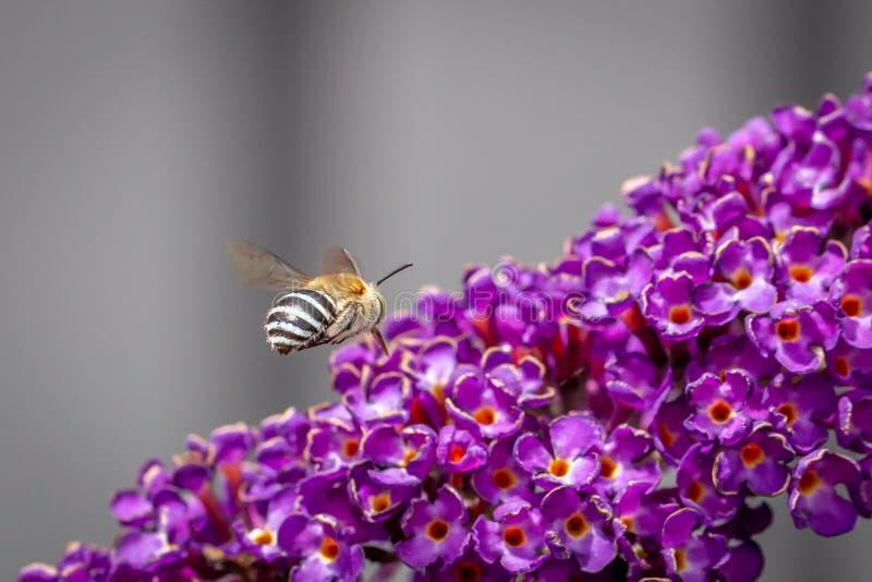 Blue-banded Bee Foraging on Buddleja Black Knight, Romsey, Victoria, Australia, February 2020 royalty free stock photo