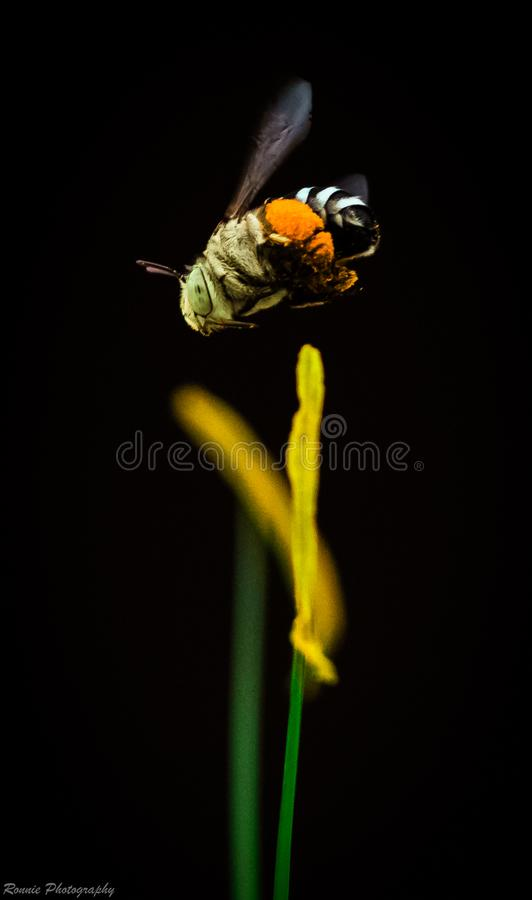 Blue banded Honey Bee royalty free stock image