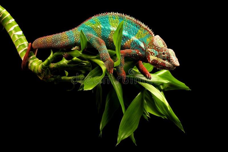 Blue bar panther chameleon stock image