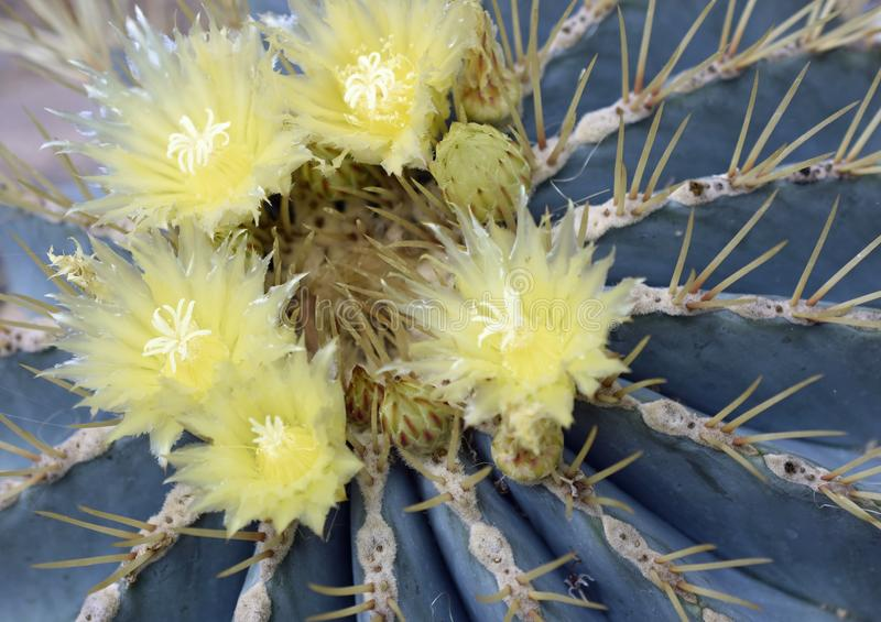 Blue Barrel Cactus from Central Mexico royalty free stock images