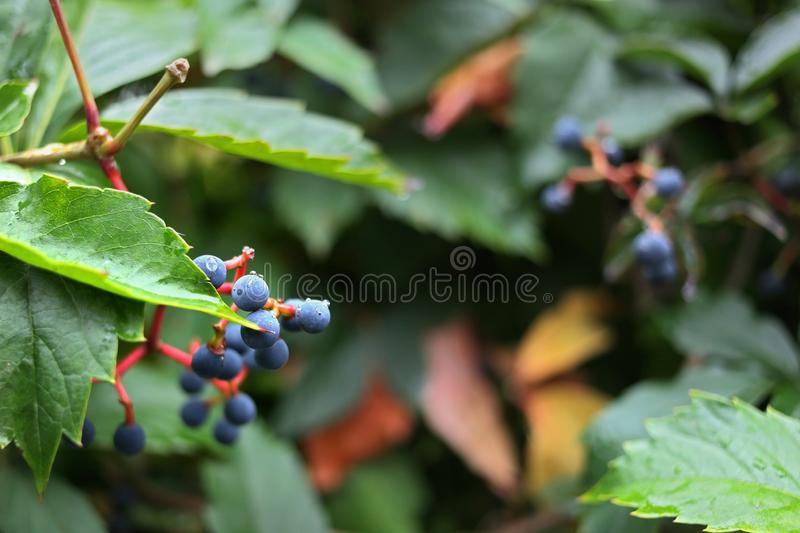 Blue barries in a green bush. Blue barries in a fresh green bush on a sunny day royalty free stock image