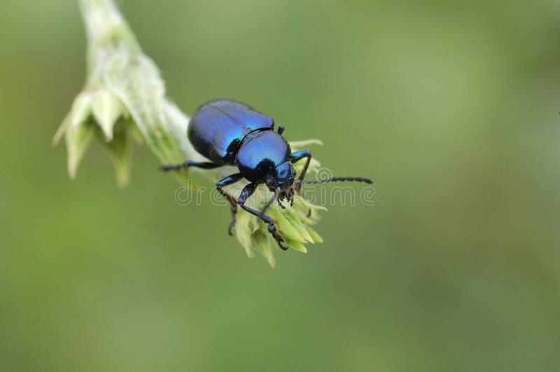 Download Blue beetle stock image. Image of garden, hunter, nature - 23737681