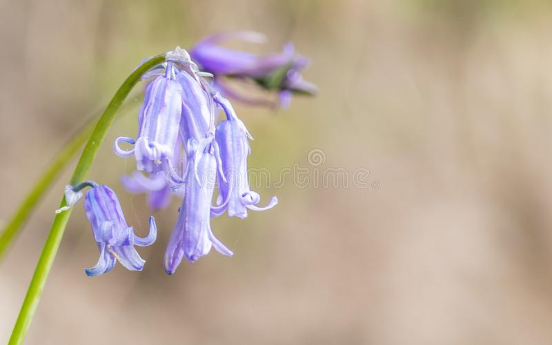 Blue bell in bloom in the sun stock photos