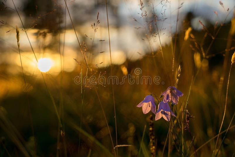 Blue Bell Flowers in the sun. Beautiful meadow field with wildflowers close up royalty free stock image