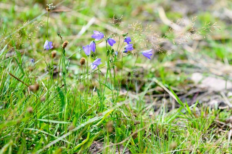 Blue bellflowers - Campanulas - flowering in alpine meadow stock photography