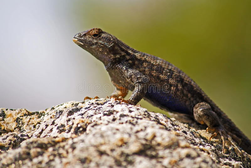Blue-bellied Lizard stock photo