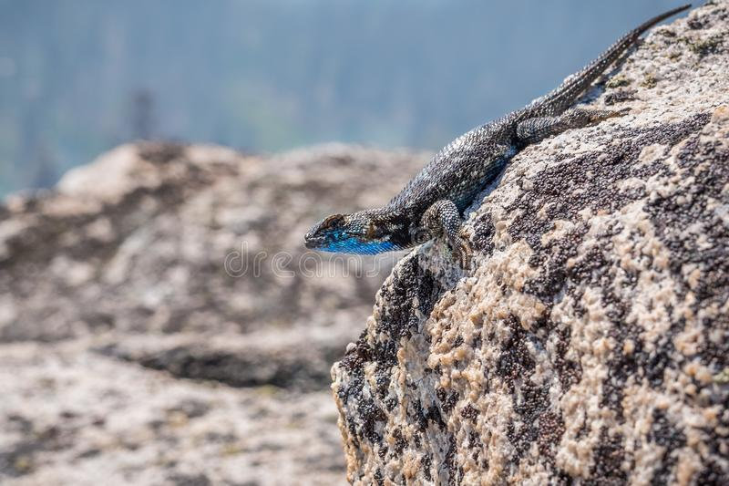 Blue bellied lizard Sceloporus occidentalis. Resting on a granite rock, Yosemite National Park, California stock photography