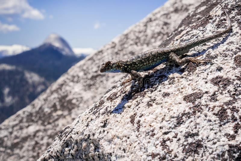 Blue bellied lizard Sceloporus occidentalis resting on a granite rock, Yosemite National Park, California stock image