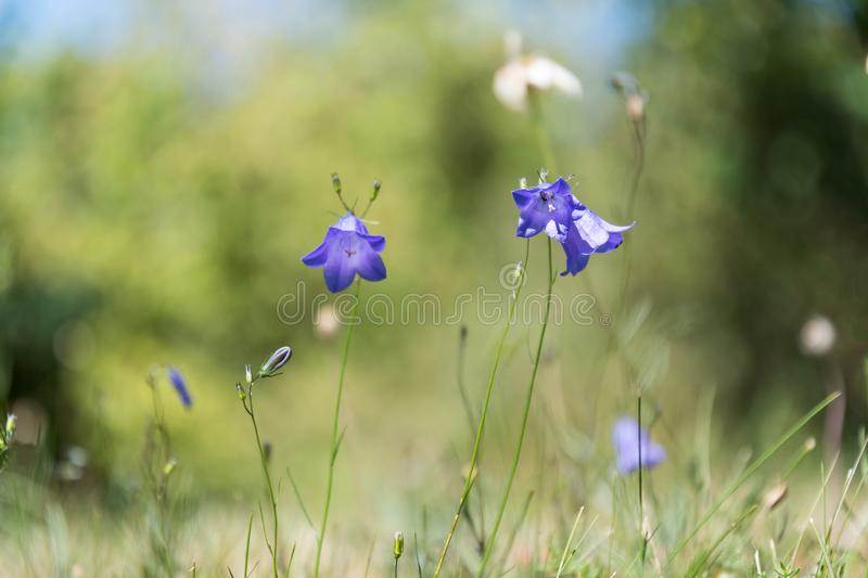 Blue Bells from low perspective. Growing bluebells in a low perspective image by a soft green background stock image