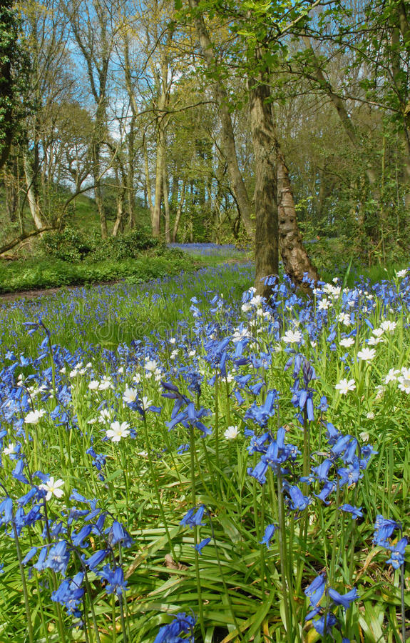 Free Blue Bells On A Woodland Backdrop Royalty Free Stock Photography - 24772577