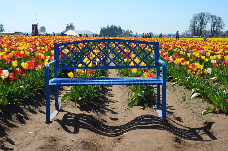 Blue Bench at Wooden Shoe Tulip Farm, Woodburn, OR. This is a blue bench in the tulip fields at Wooden Shoe Tulip Farm near Woodburn, Oregon. It`s about 20 miles royalty free stock photography