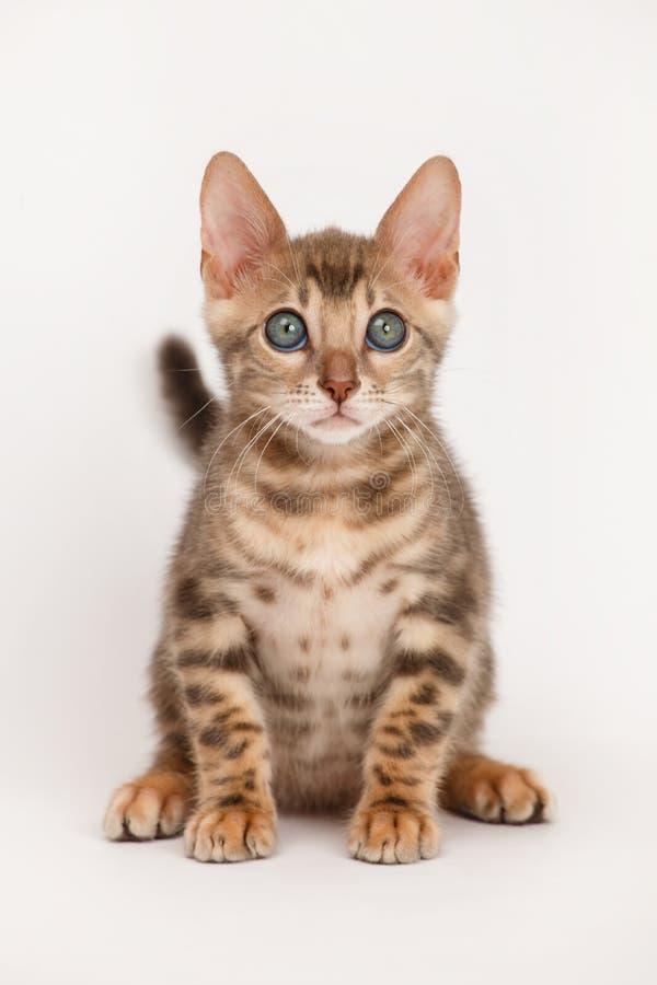 Blue Bengal Kitten royalty free stock photo