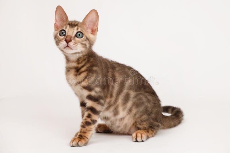 Blue Bengal Kitten stock photo