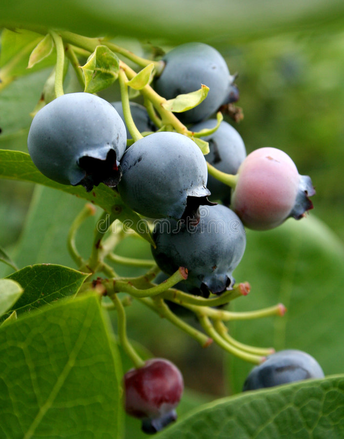 Blue Berries royalty free stock image