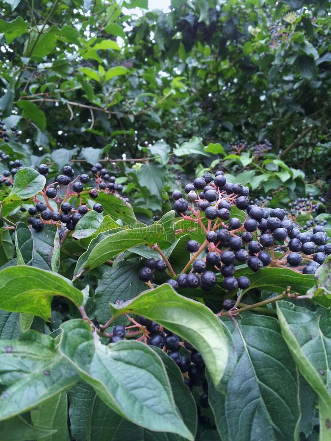 Blue berries stock photography