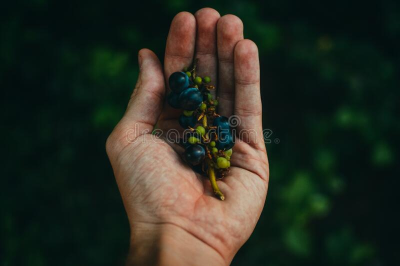 Blue Berries On Sprig Cupped In Human Hand Free Public Domain Cc0 Image