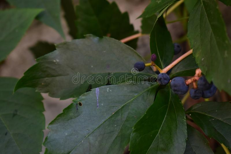 Blue berry on the branch. Useful for diverse purposes in commercial and non-commercial usage royalty free stock image