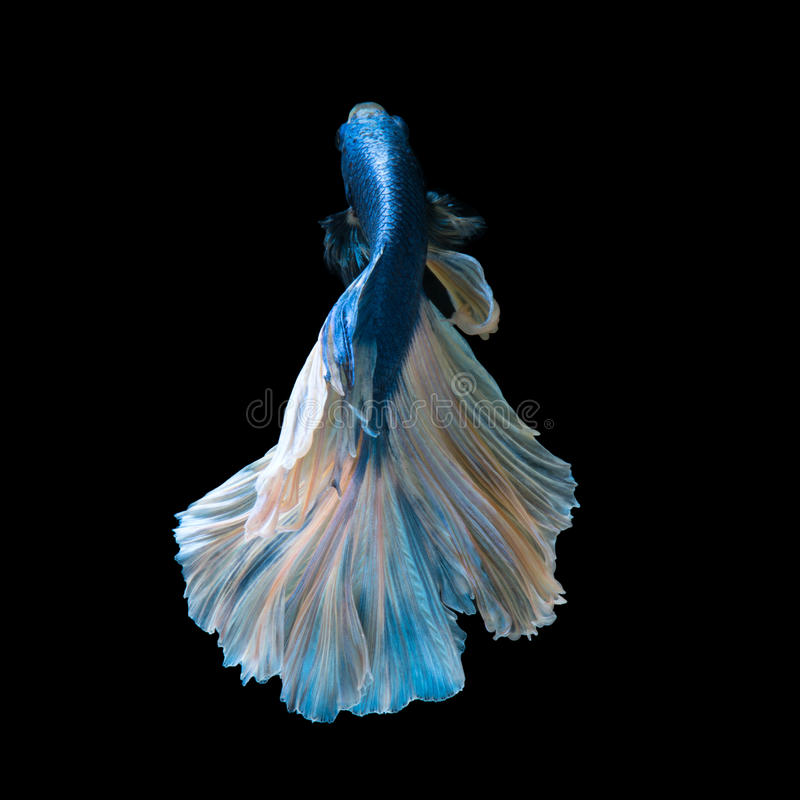 Blue betta. Capture the moving moment of blue siamese fighting fish isolated on black background royalty free stock photo