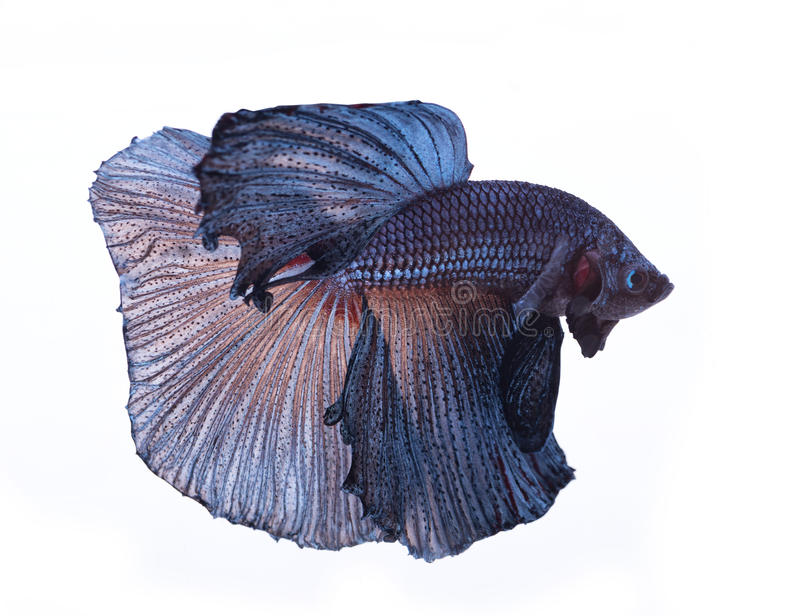 Blue betta fish i. Solated on white background stock images