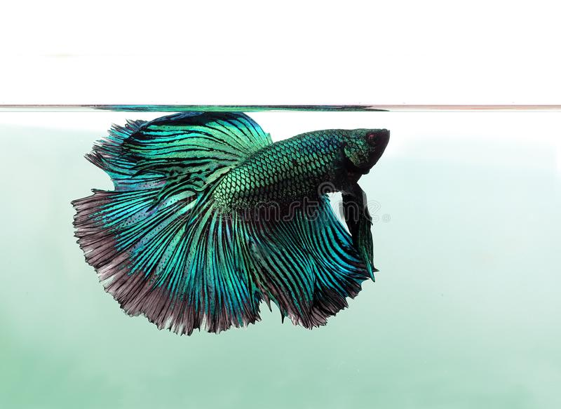 Blue betta fish isolated on white background. royalty free stock photography
