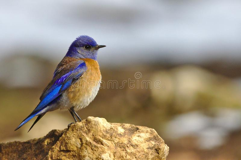 Blue bird on a branch Close up of a garden bird European Robin Erithacus rubecula perched on the post, stock photography