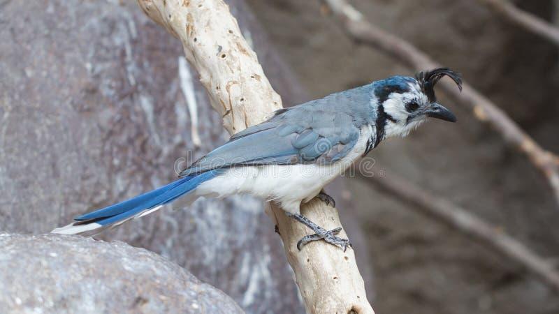 Blue bird (Calocitta formosa) perching on a branch. Blue bird, white-throated Magpie-Jay (Calocitta formosa) perching on a branch royalty free stock image