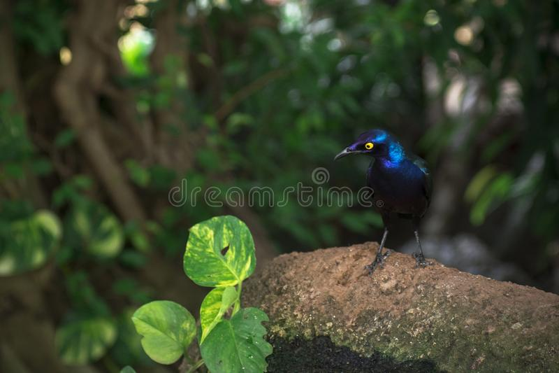 Blue bird with green wings an yellow eyes royalty free stock photography