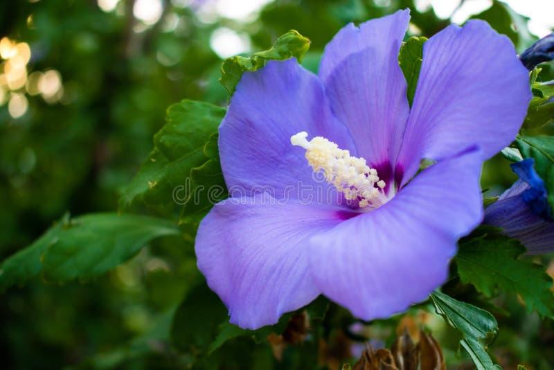 Blue Bird Rose of Sharon royalty free stock photography