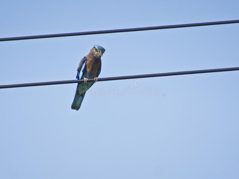 Blue bird of thailand - The Indian roller Coracias benghalensis. Sits on the wires royalty free stock photography