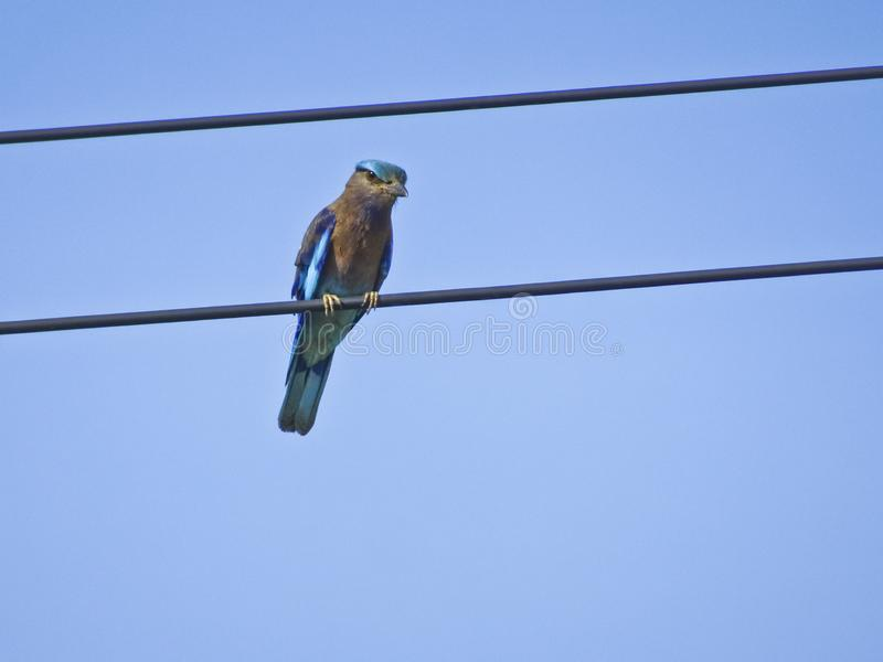 Blue bird of thailand - The Indian roller Coracias benghalensis. Sits on the wires royalty free stock image