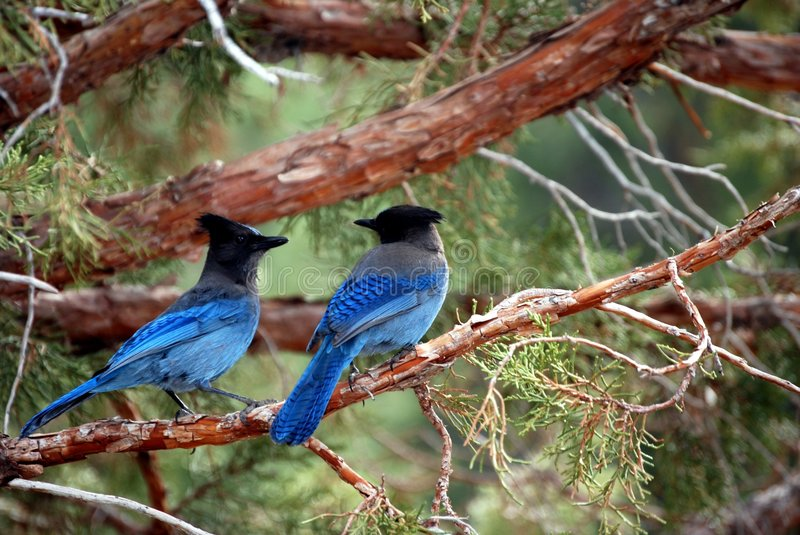 Blue birds. 2 blue birds in a tree, in Mammoth Mountain CA