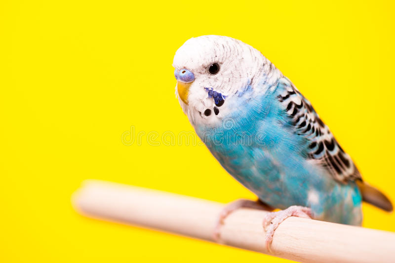 Blue birds backed by Yellow. Blue Parakeet perched and posing for the camera stock photos