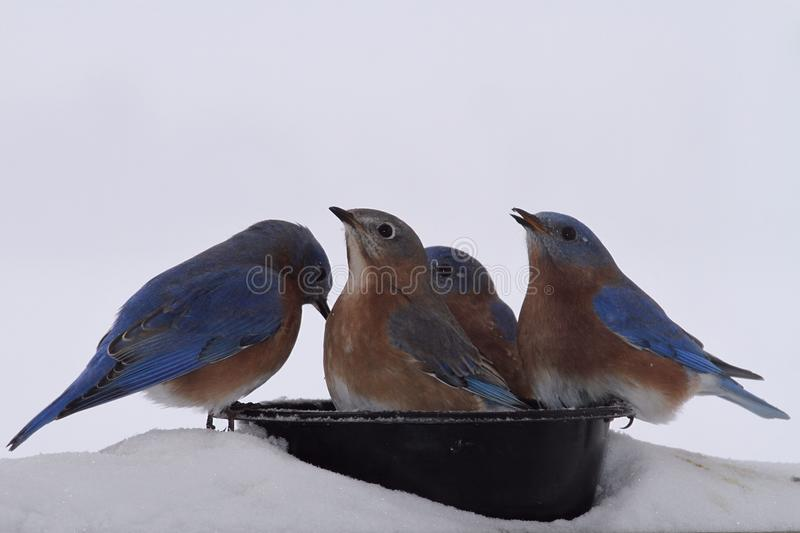 Blue Birds drinking water royalty free stock photography