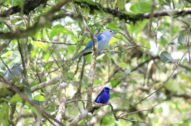 Blue Birds on Tree Branch, Guanacaste, Costa Rica. Blue Birds on tree branch near Rincon de La Vieja, Guanacaste, Costa Rica. Photographed on Jan 7, 2015 royalty free stock photos