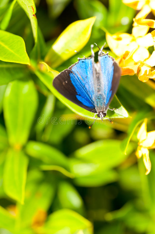 Blue & black butterfly. On a green leaf royalty free stock photo