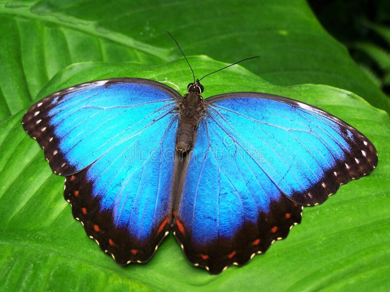Blue And Black Butterfly Free Public Domain Cc0 Image