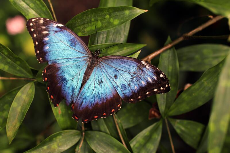 Blue and Black Butterfly on Green Leaves royalty free stock image