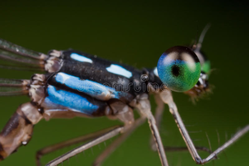 A blue and black damselfly royalty free stock photos