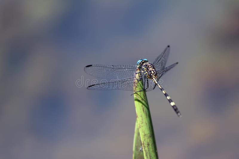 Blue and Black Damselfly on Green Leaf royalty free stock images