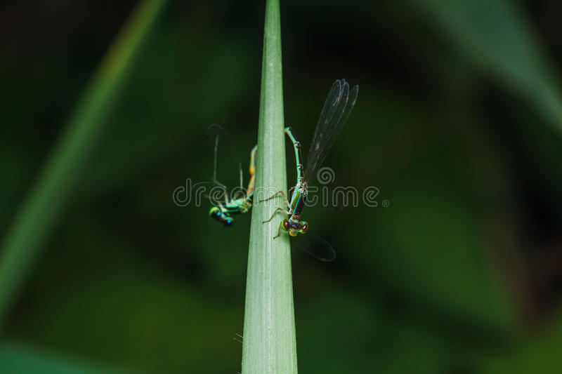 A blue and black dragonfly. On green leaf royalty free stock photos