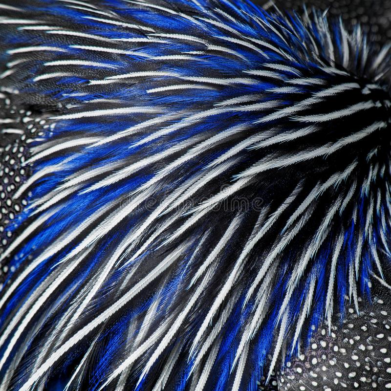 Blue, black and white awesome feathers of a guinea fowl stock photo