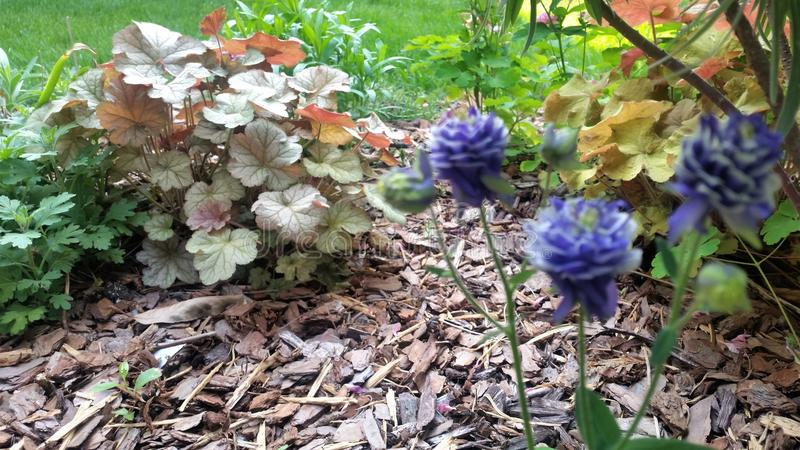 Blue blossoms and variegated ground cover in sunny garden bed stock images