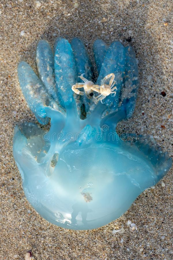 Blue blubber or Jelly Blubber Jellyfish Catostylus mosaicus wash up on shore during the Jellyfish season. In the United Arab Emirates, north of Dubai. Caution stock image