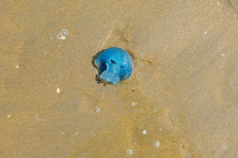 Blue blubber jellyfish, stranded in the sand of the Dutch coast. Blue blubber jellyfish,stranded in the beige sand of the Dutch coast royalty free stock photo
