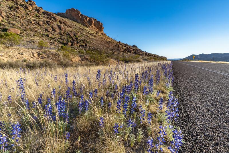 Blue bonnets along the highway. In Big Bend National Park royalty free stock photography