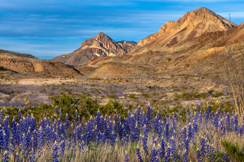 Blue bonnets along the roadside with mountains in the background. Along Ross Maxwell scenic drive in Big Bend royalty free stock images