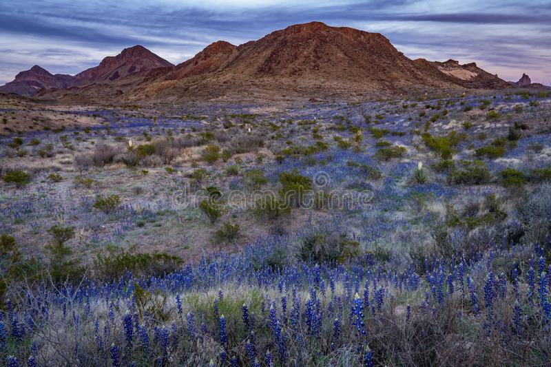 Blue bonnets covering the fields in Big Bend National Park. With evening dusk settling on the mountain range stock photo