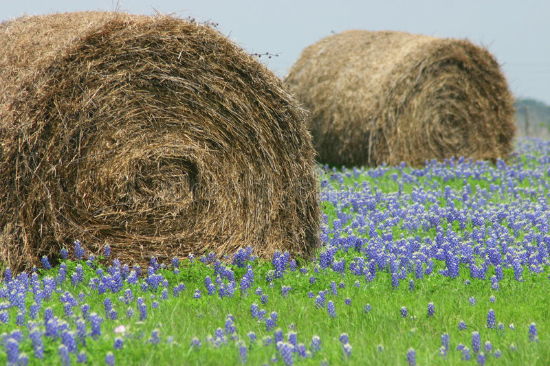 Blue bonnets in the field stock images