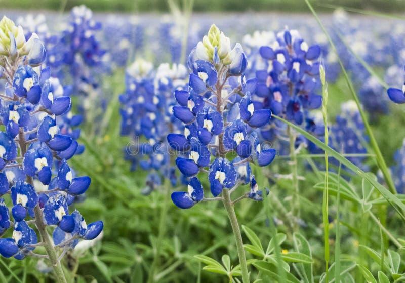 Blue Bonnets of Texas royalty free stock photos